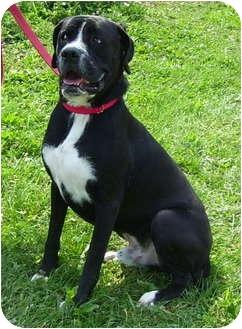 Boxer/Labrador Retriever Mix Dog for adoption in Somerset, Pennsylvania - Chance
