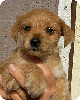 Terrier (Unknown Type, Small) Mix Puppy for adoption in El Segundo, California - Honey