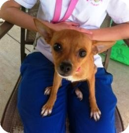 Chihuahua Mix Dog for adoption in Columbus, Georgia - Lillith 4978