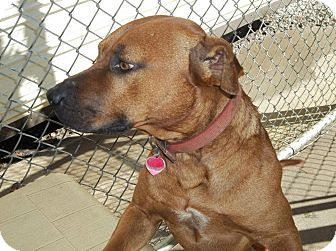 Pit Bull Terrier Mix Dog for adoption in Henderson, North Carolina - Bullet