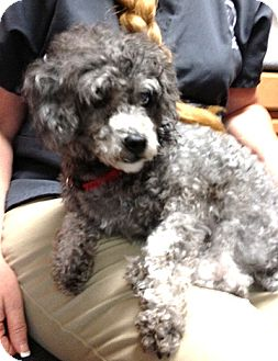 Poodle (Toy or Tea Cup) Dog for adoption in Richmond, Virginia - Tinsel