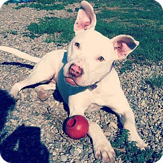 American Pit Bull Terrier Mix Dog for adoption in Lapeer, Michigan - Cali