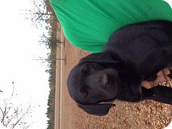 Labrador Retriever Puppy for adoption in Marlton, New Jersey - Izzy