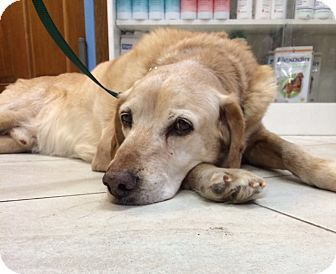 Labrador Retriever Dog for adoption in New Canaan, Connecticut - Canela - Courtesy Posting