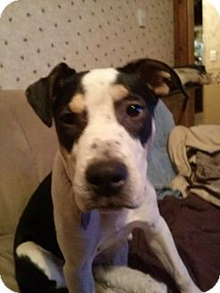 American Staffordshire Terrier Mix Puppy for adoption in Lima, Ohio - Oryx