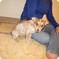 Adopt A Pet :: Piper - Adoption Pending - Phoenix, AZ