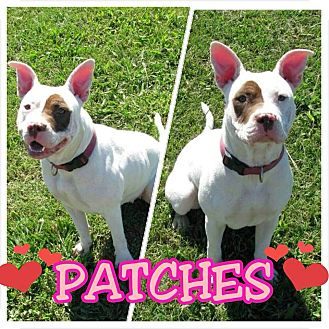 French Bulldog/American Bulldog Mix Dog for adoption in CHAMPAIGN, Illinois - PATCHES