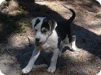 Golden Retriever Mix Puppy for adoption in Denver, Colorado - Louise