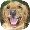 Golden Retriever Mix Dog for adoption in Eatontown, New Jersey - Lola