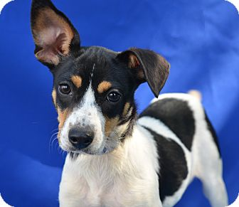Terrier (Unknown Type, Small) Mix Dog for adoption in LAFAYETTE, Louisiana - SASSAFRAS