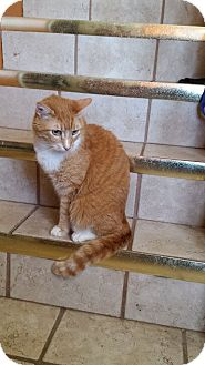 American Shorthair Cat for adoption in Stewart, Tennessee - Lord Windship