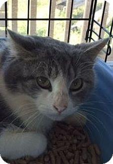 Domestic Shorthair Cat for adoption in Porter, Texas - Jasper