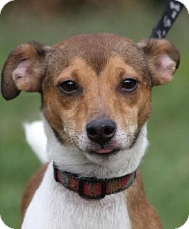 Jack Russell Terrier Dog for adoption in Brookeville, Maryland - Seamus
