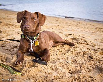 Dachshund/Rat Terrier Mix Dog for adoption in Orange, California - Duke