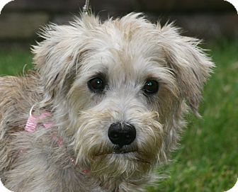 Yorkie, Yorkshire Terrier/Poodle (Miniature) Mix Dog for adoption in Carlsbad, California - Heidi