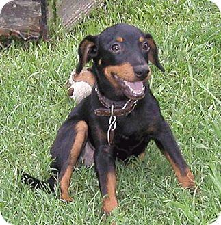 Miniature Pinscher/Dachshund Mix Puppy for adoption in Lafayette, Louisiana - N Blakey