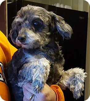 Poodle (Miniature)/Schnauzer (Miniature) Mix Dog for adoption in Zanesville, Ohio - Frankie