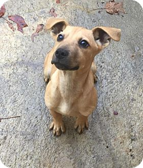 Labrador Retriever/German Shepherd Dog Mix Puppy for adoption in Charlotte, North Carolina - Ramsey