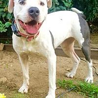 Adopt A Pet :: Petunia - Santa Monica, CA
