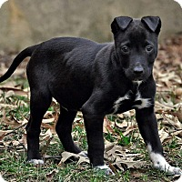 Adopt A Pet :: Dusty Bottoms - Millersville, MD