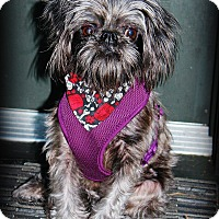 Brussels Griffon Dog for adoption in Austin, Texas - KADDIE in HOUSTON, TX