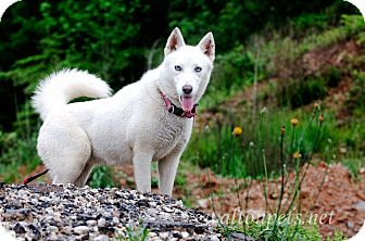 Siberian Husky Mix Dog for adoption in Monroe, Georgia - Venus