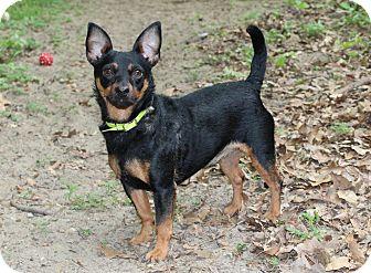 Miniature Pinscher Mix Dog for adoption in Muskegon, Michigan - Nico