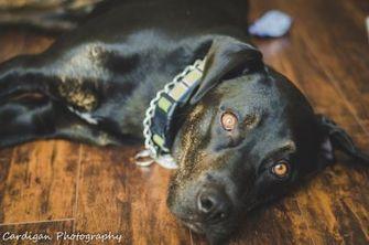 American Pit Bull Terrier/Labrador Retriever Mix Dog for adoption in Sherwood Park, Alberta - Stan