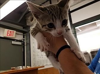 Domestic Shorthair Cat for adoption in Lake Jackson, Texas - Ollie