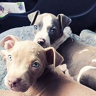 Pit Bull Terrier Mix Puppy for adoption in Wichita Falls, Texas - Margo
