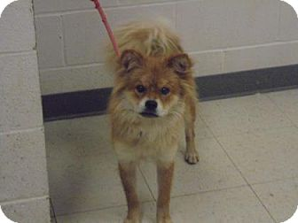 Shiba Inu Mix Dog for adoption in Gulfport, Mississippi - Lenny - Lonely Heart