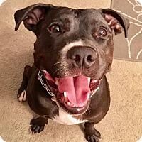 Adopt A Pet :: URGENT-Small Stella - Burbank, CA
