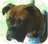 Boxer Dog for adoption in Sunderland, Massachusetts - Ava