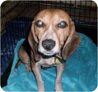 Beagle Dog for adoption in Ventnor City, New Jersey - SALLY