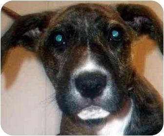 Boxer Mix Puppy for adoption in Chapel Hill, North Carolina - Gizmo