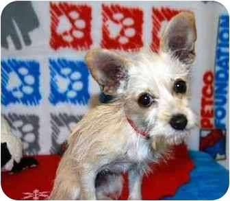 Terrier (Unknown Type, Small)/Wirehaired Fox Terrier Mix Puppy for adoption in Broomfield, Colorado - Poinsettia