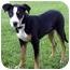 Photo 2 - Smooth Fox Terrier/Terrier (Unknown Type, Medium) Mix Puppy for adoption in Marina del Rey, California - Patty