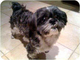Shih Tzu Dog for adoption in Los Angeles, California - CALEB