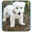 Photo 2 - Westie, West Highland White Terrier Dog for adoption in North Palm Beach, Florida - Cody