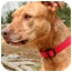 Photo 4 - American Pit Bull Terrier/Labrador Retriever Mix Dog for adoption in Sherman Oaks, California - Precious