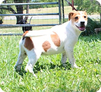 Jack Russell Terrier Mix Puppy for adoption in Hagerstown, Maryland - Journey