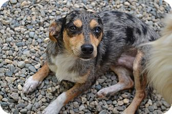Dachshund Mix Dog for adoption in West Hartford, Connecticut - Sparky2