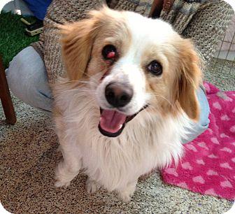 Cocker Spaniel Dog for adoption in Thousand Oaks, California - Murphy