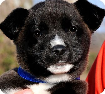 Labrador Retriever Mix Puppy for adoption in Wakefield, Rhode Island - O'MALLY(TEDDY BEAR PUPPY!!