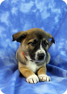 Shepherd (Unknown Type)/Husky Mix Puppy for adoption in Westminster, Colorado - Andromeda