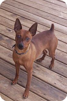 Miniature Pinscher Dog for adoption in weatherford, Texas - Buddie