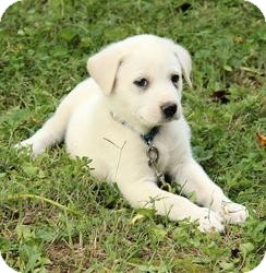Great Pyrenees Mix Puppy for adoption in Spring Valley, New York - Sarah