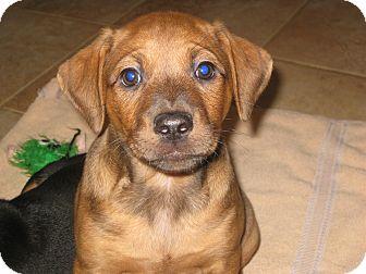 Hound (Unknown Type)/Dachshund Mix Puppy for adoption in Homewood, Alabama - Roman
