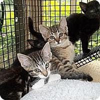 Adopt A Pet :: Rt 201 Kittens - Acme, PA