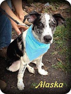 Australian Cattle Dog/Blue Heeler Mix Dog for adoption in Denver, North Carolina - Alaska